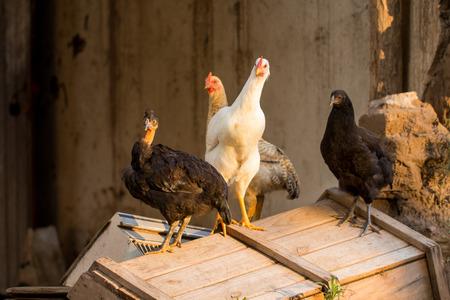 pollitos: curious chicks