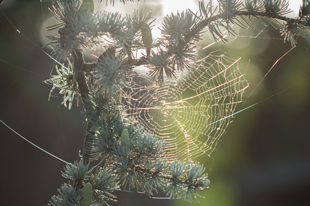 spiderweb: spiderweb on Blue cedar Stock Photo
