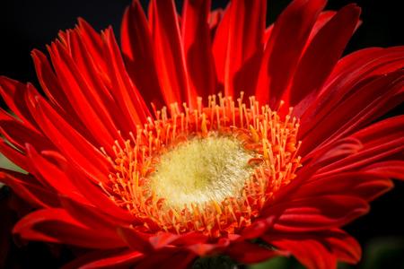 gerbera in bloom Stock Photo
