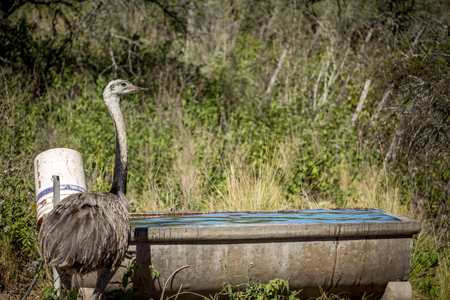 ostrich next to a drinking fountain
