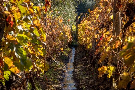 irrigation in vineyard Stockfoto