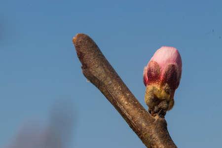 macro shot of peach blossom