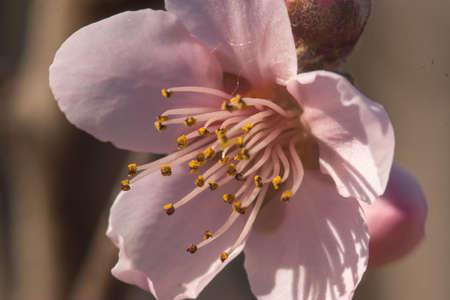 pink peach flower on spring