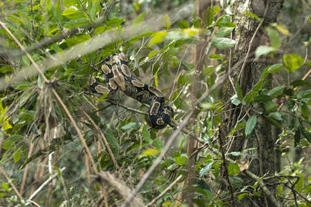 wild big python snake curled up on a tree in the bolivian jungle Standard-Bild