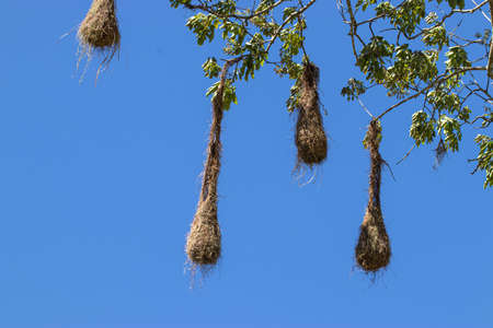 nest of weaver birds pending of tree