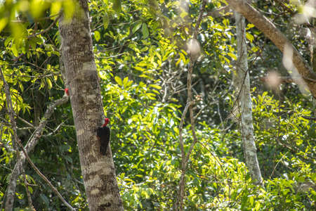 two red headed wood peckers on a tree in the jungle Standard-Bild