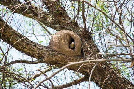 bird nest made of clay in a tree branch Standard-Bild