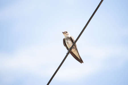 swallow perched on a power line