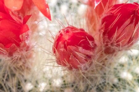 cactus red buds blooming in spring Standard-Bild