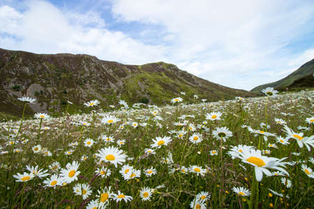 field of daisies in a field between mountains in england