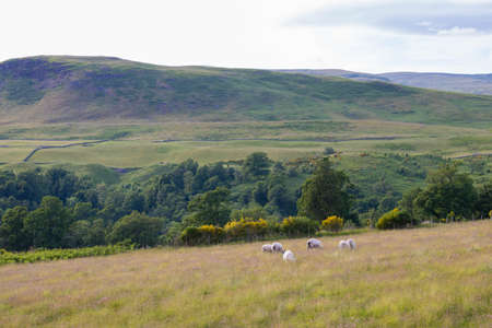 lambs grassing in meadows between forests