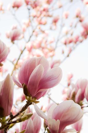 bloemen van magnolia