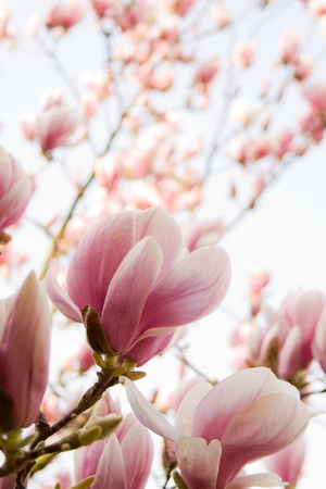 the magnolia: flowers of magnolia  Stock Photo