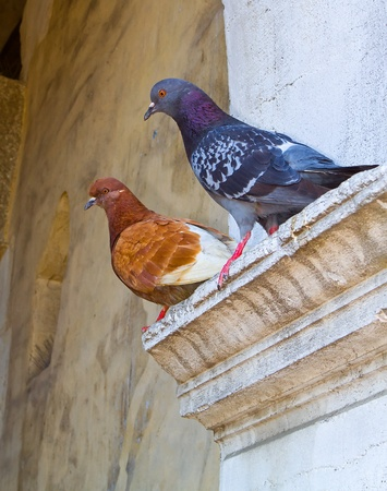 photograpfy of two pigeon Stock Photo - 9849426