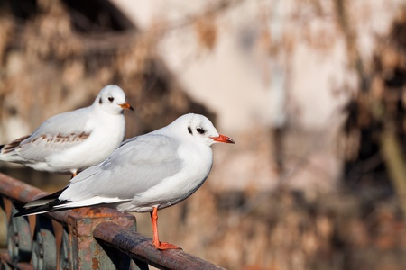 black-headed gull with winter plumage on metal railing photo