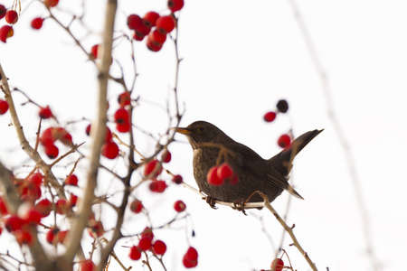 photography of blackbird on the tree with berries Stock Photo - 12597372