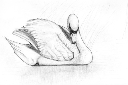 cygnus: pencil drawing of a swan in a pond
