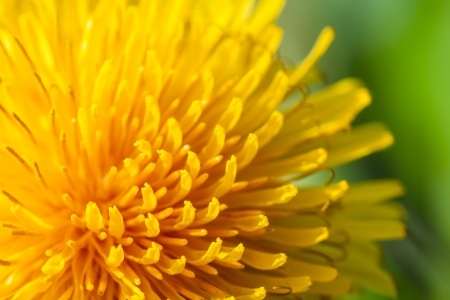 macro photografhy of yellow common dandelion photo