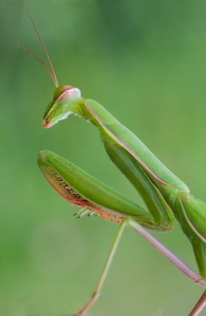 photography macro of european mantis with natural background photo