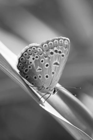 lycaeninae: photography macro of lycaenidae, black and white