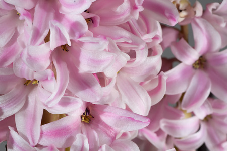 hyacinthus: photography macro of Inflorescence of hyacinthus rose