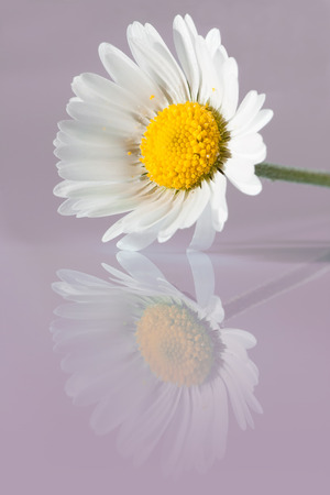 macro photography of oxeye daisy with reflection