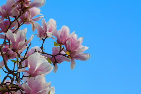 closeup photography of magnolia flowering with blue sky photo