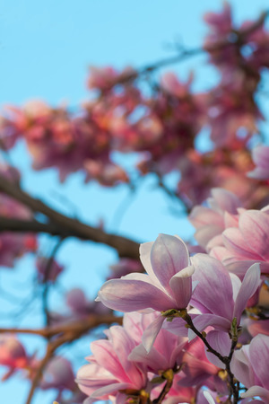 closeup photography of magnolia flowering with sky photo