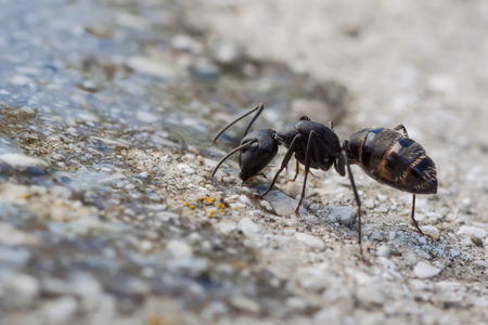 formicidae: macro photography of formica fusca  Stock Photo