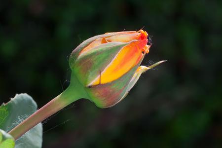 macro photography of Marco Polo rose