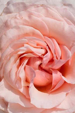macro photography of Roberto Capucci rose