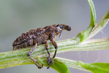 weevils: macro photography of Otiorhynchus with natural background