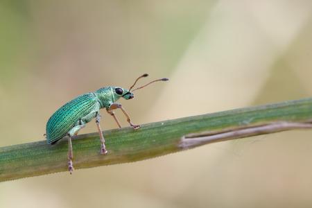 curculionidae: macro photography of Phyllobius roboretanus Stock Photo