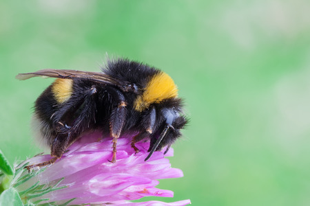 macro photography of Bombus terrestris on flower
