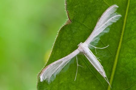 macro photography of White Plume Moth (Pterophorus pentadactyla) photo