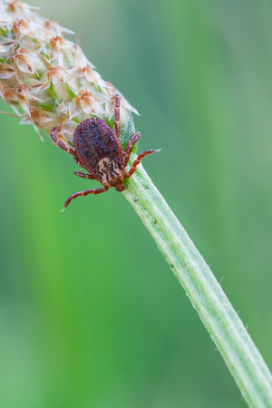 wood tick: macro photography of Rocky Mountain Wood tick (Dermacentor andersoni) Stock Photo