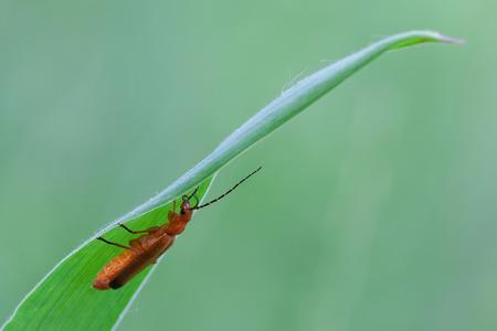 macro photography of common red soldier beetle (Rhagonycha fulva)