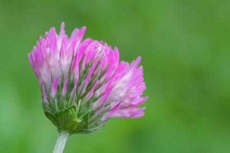 trifolium: macro photography of flower of Trifolium with natural background Stock Photo