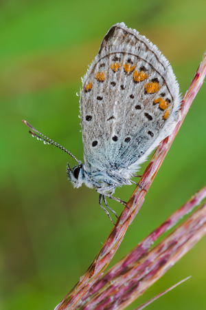 lycaeninae: macro photography of lycaenidae with natural background