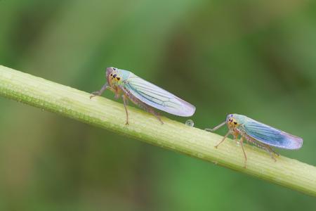 insecta: macro photography of Cicadella viridis, male and female Stock Photo
