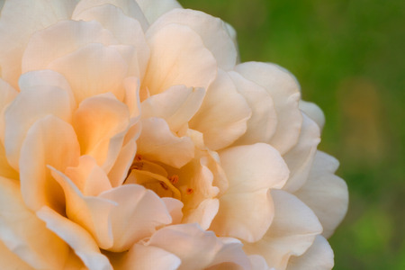 buff: macro photography of Buff Beauty rose