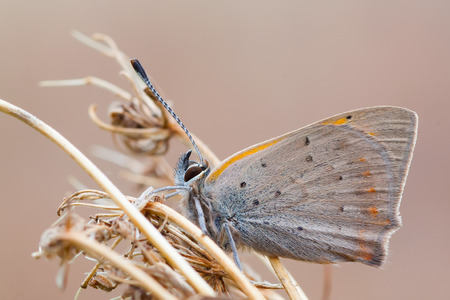 lycaena: macro photography of lycaenidae with natural background