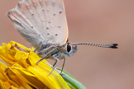 lycaena: macro photography of lycaenidae on common dandelion