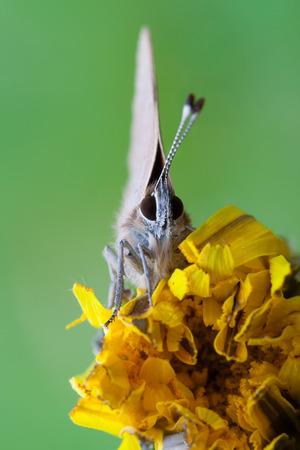 lycaeninae: macro photography of lycaenidae on common dandelion