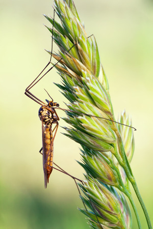 crane fly: macro photography of crane fly with natural background Stock Photo