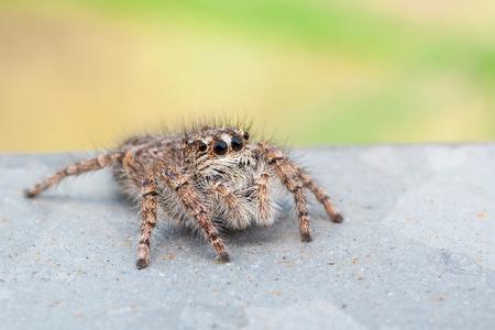 salticidae: macro photography of Jumping spider (Salticidae)