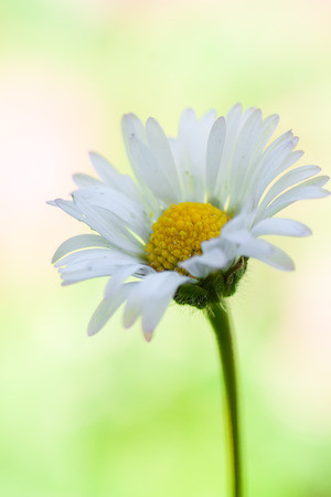macro photography of bellis perennis with natural background