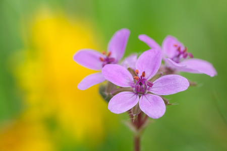 floreal: macro photography of Erodium cicutarium flower with natural background