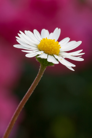 floreal: macro photography of bellis perennis with natural background