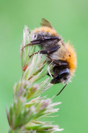 bombus: macro photography of bumblebee (Bombus pascuorum) Stock Photo